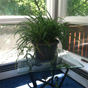 A plant near a window